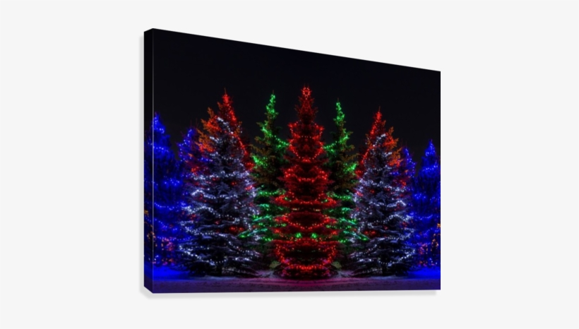 Colourful Christmas Lights Around Several Evergreen - Christmas Lights In Evergreen Trees, transparent png #1453919