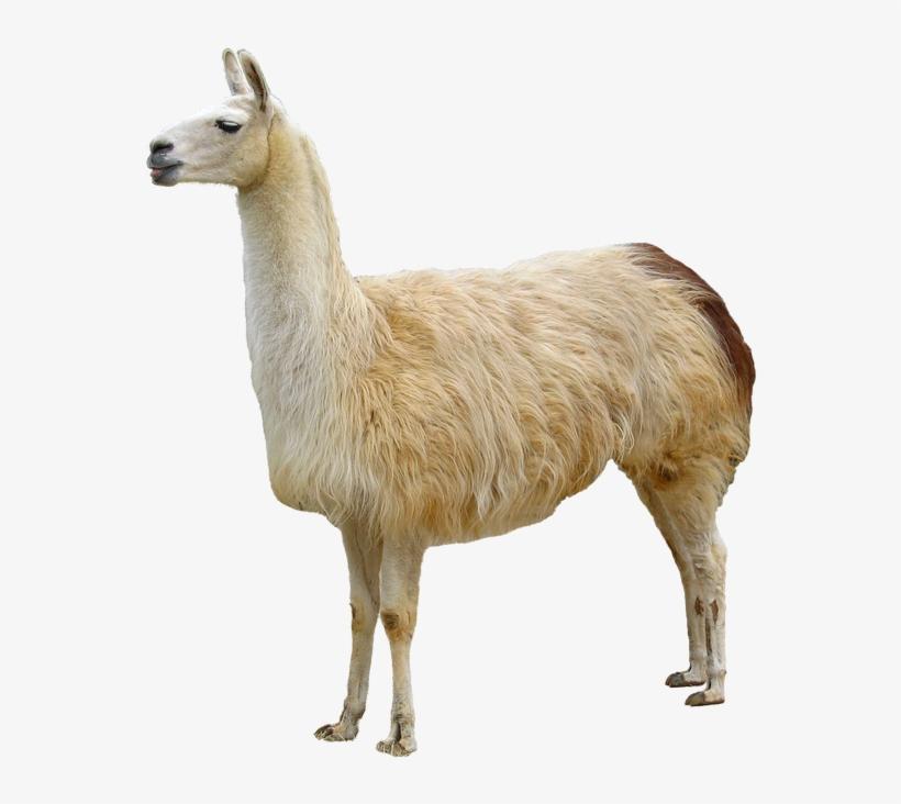 Llama Animales - Animal Dibujos De Llama, transparent png #1492061
