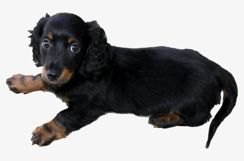 Long Haired Dachshund Puppy Png By Makiskan On Deviantart