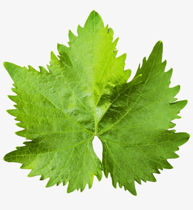 Download Grape Vine Leaf Png Image - Grape Vine Leaf Png, transparent png #1519159
