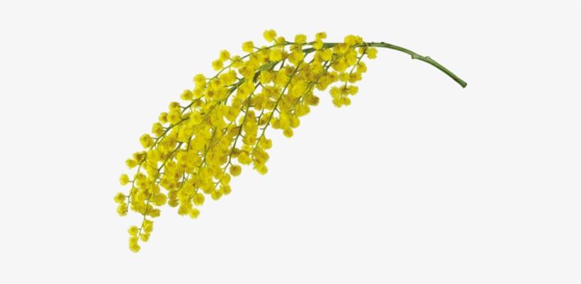 Mimosa - Mimosa Floral Wax Organic 16 Oz, transparent png #1528994