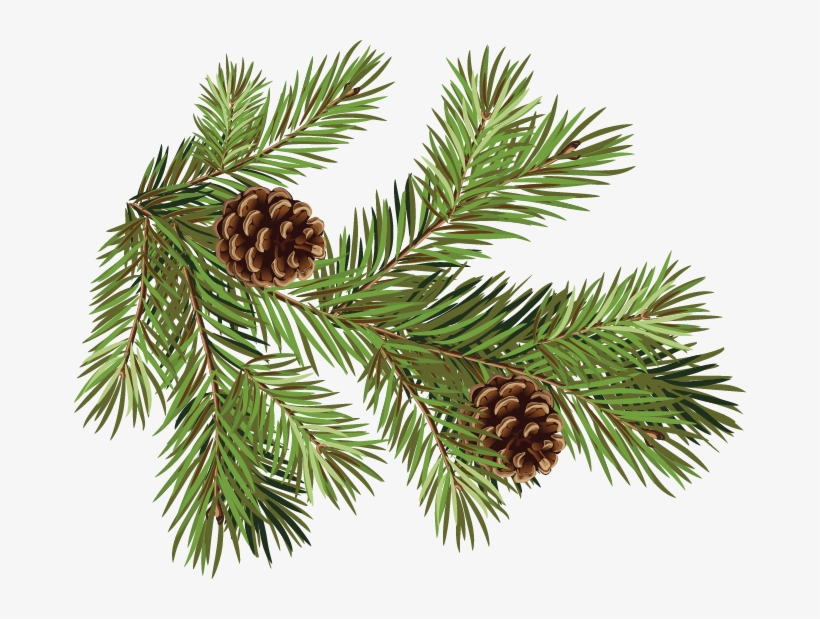 Pine Fir Conifer Cone Spruce Branch - Pine Cones And Branches, transparent png #1530258