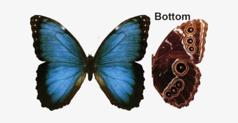 00f9f777d Butterfly House At Put In Bay - Blue Morpho Butterfly Transparent ...