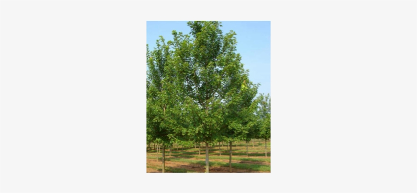 Are Maple Holly, Weeping Willow, And Birch Trees - Autumn Blaze Maple Tree, transparent png #1568304