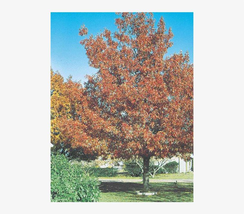 Shumard Red Oak - Shumard Oak Tree, transparent png #1568371