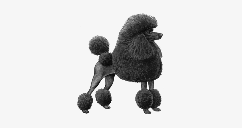 Toy Poodle Bw Miniature Poodle Dog Counted Cross Stitch