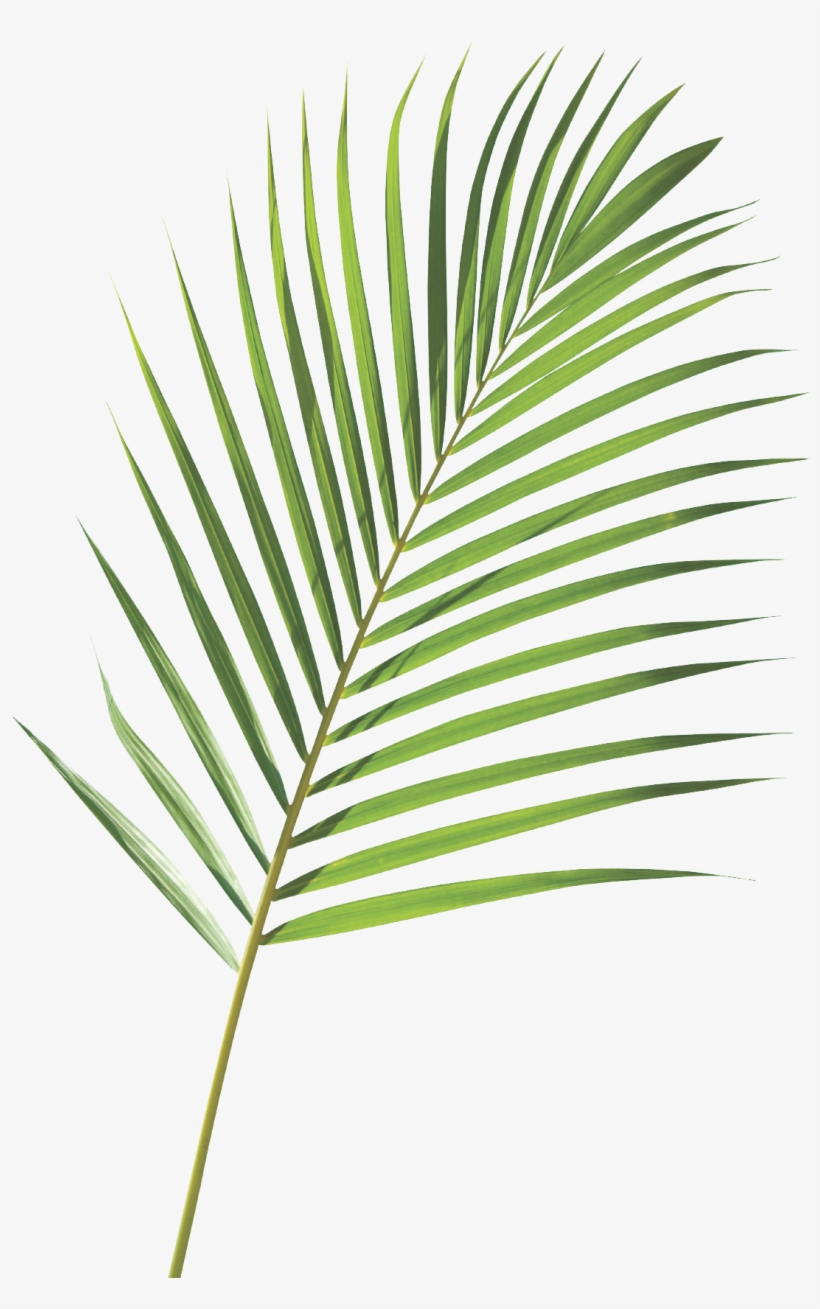 Clip Transparent Stock Royalty Free Frond Arecaceae - Nike Goddess Palm Branch, transparent png #1574331