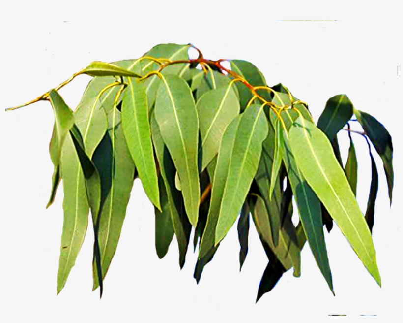 Free Download Eucalyptus Leaves Clipart Leaf Eucalyptus - Gum Tree Leaves South Africa, transparent png #1589883