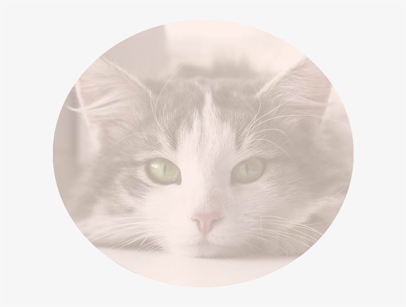 Nutritional Counseling - Domestic Short-haired Cat, transparent png #1598543