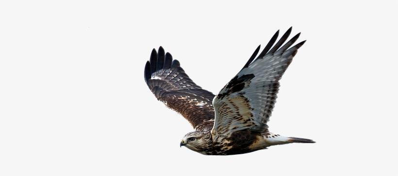 Hawk Flight Raptor Bird Of Prey Hawk Transparent Free Transparent Png Download Pngkey