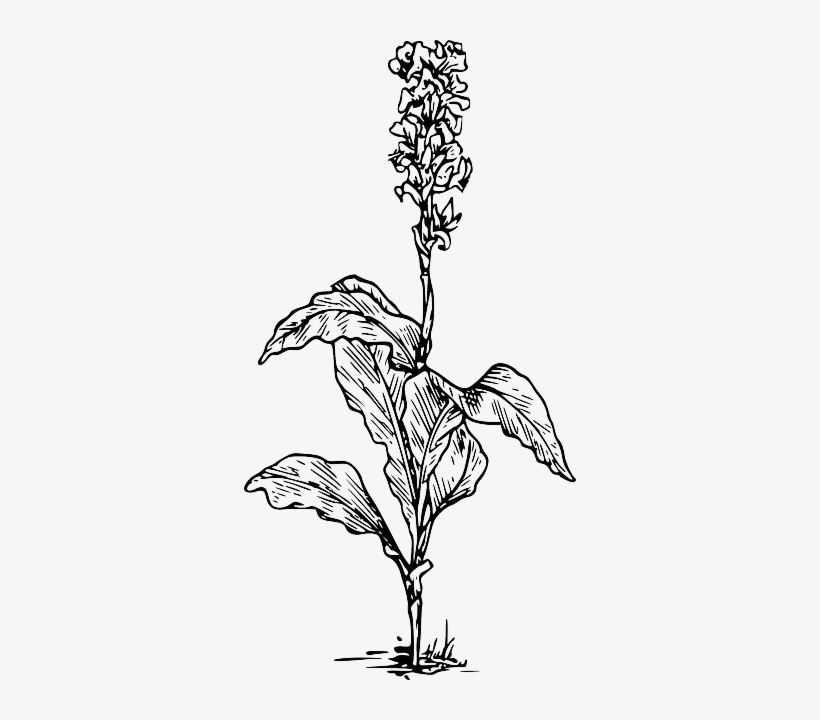 Black, Outline, Plants, Flower, White, Flowers, Plant - Canna Indica Flower Drawing, transparent png #169157