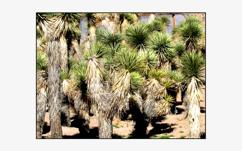 Joshua Tree - Joshua Tree Sapling, transparent png #1618425