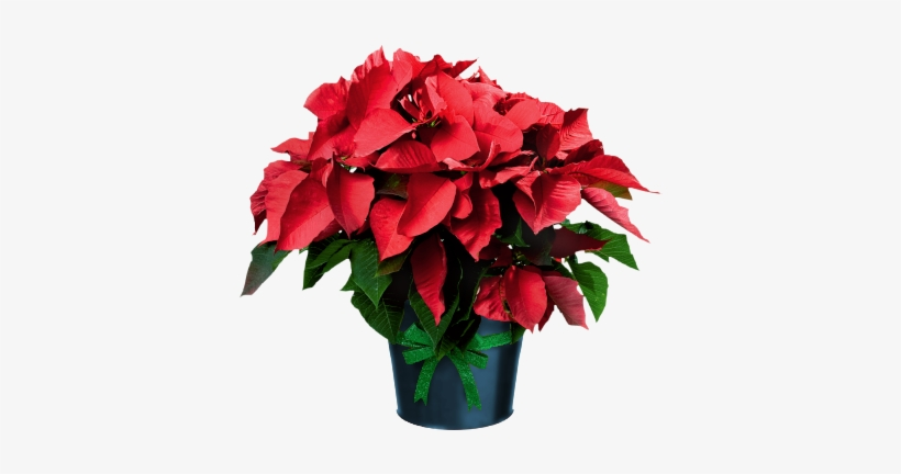 Poinsettia In Pots Poinsettia Plant Clip Art Free Transparent Png Download Pngkey