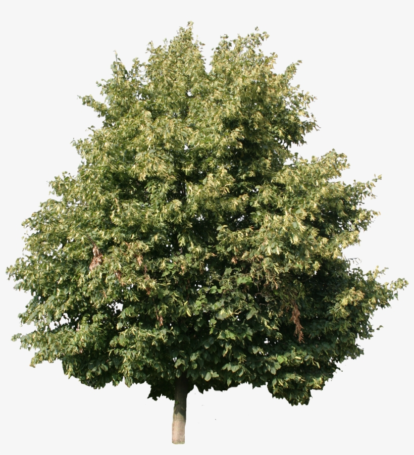 2d Trees - Linden Tree Cut Out, transparent png #1650154