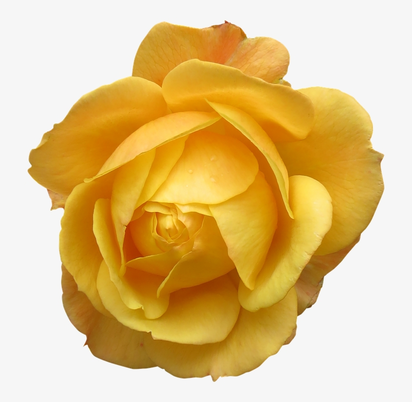 Yellow Rose Flower Free Png Transparent Images Free Giant Single