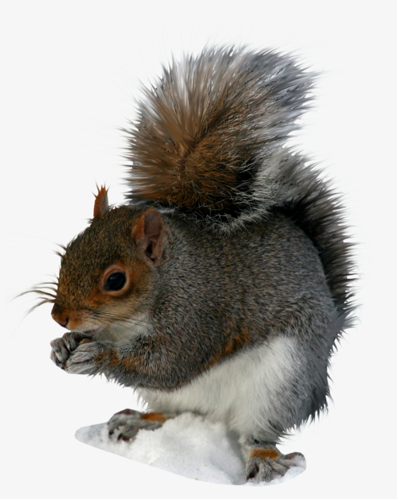 Squirrel Png Image - Squirrel Pngs, transparent png #171401