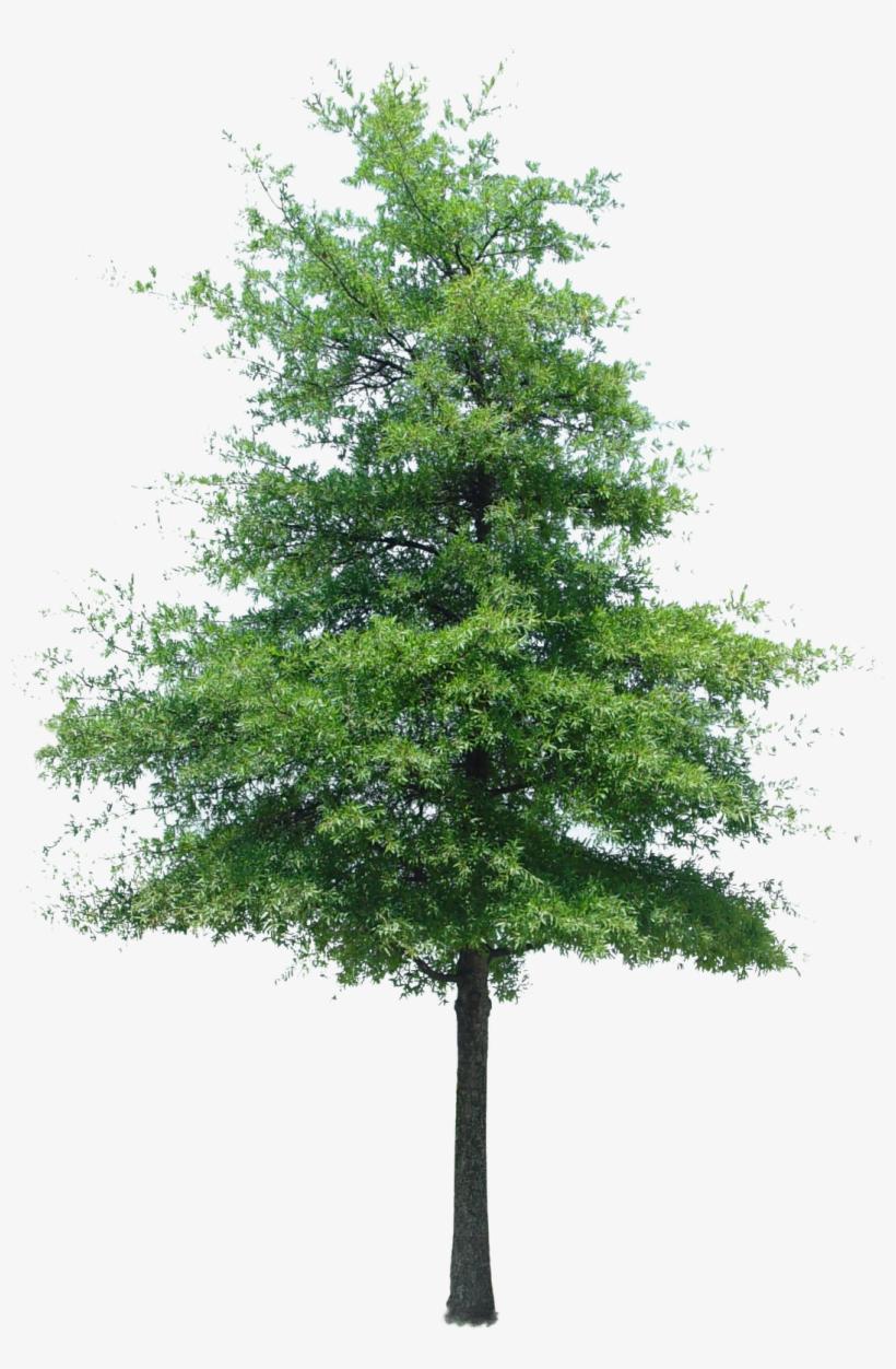 Cutout Tree Photoshop Texture, Tree Photoshop, Photoshop - Immediate Entourage Free Tree, transparent png #174043