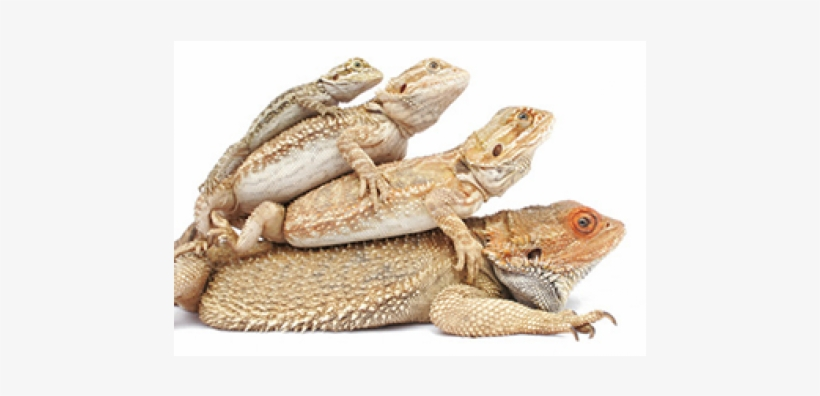 Stages Of A Bearded Dragon, transparent png #1715420