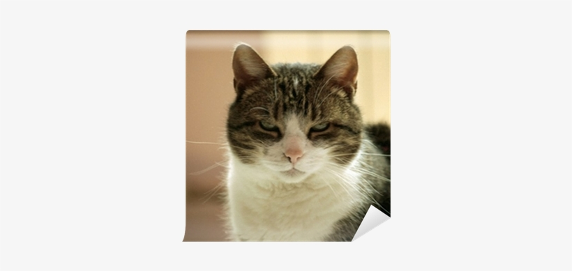 Domestic Short-haired Cat, transparent png #1792851