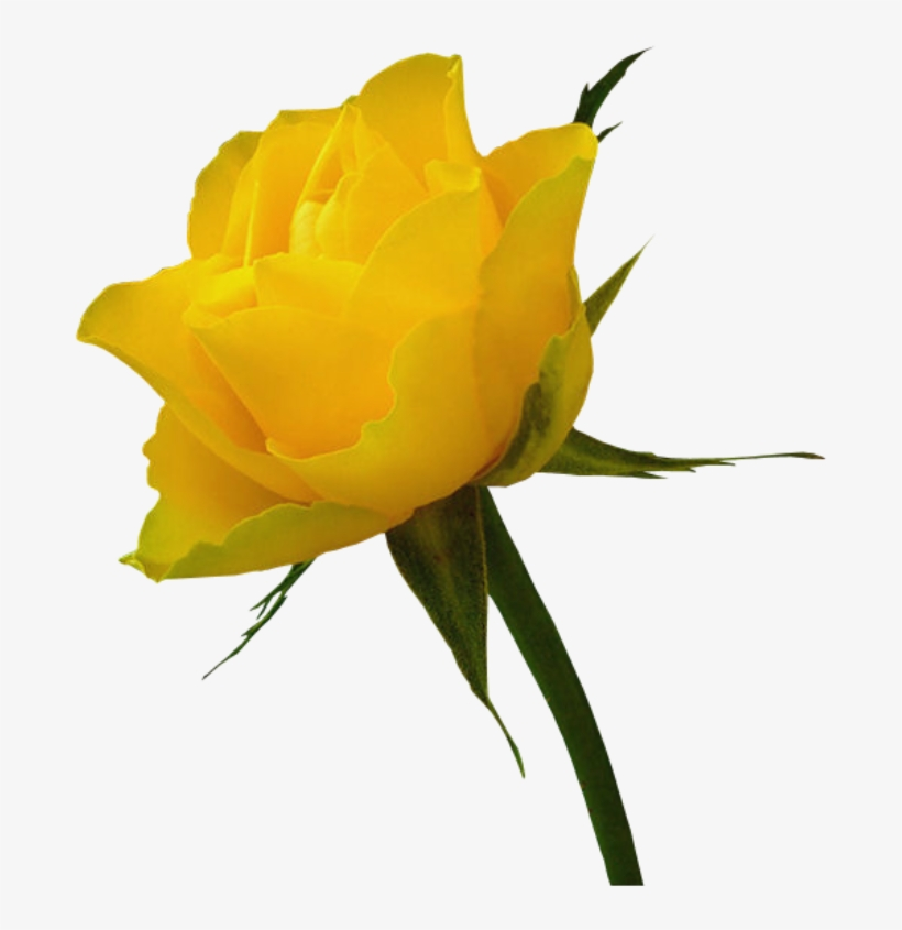 Red Rose Clip Art - Red Rose And Yellow Rose, transparent png #181595