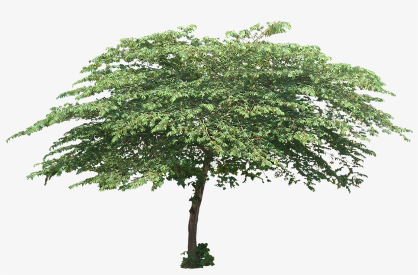 Cherry Tree Cut Out, Tree Planting, Trees To Plant, - Tree Png, transparent png #1820373