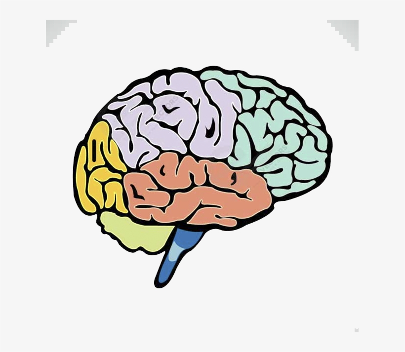 Lightbulb Clipart Human Brain Brain Drawing With Label Free