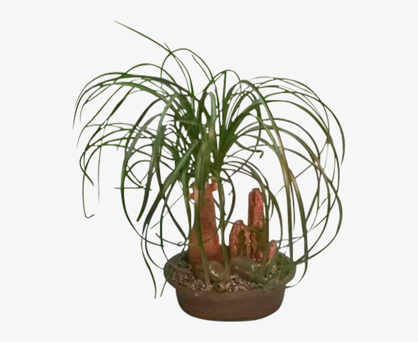 Ponytail Palm - Houseplant - Free Transparent PNG Download ... on palm christmas, palm rats, palm vector, palm chamaedorea seifrizii, palm shoot, palm bamboo, palm leaf chickee, palm roses, palm drawing, palm flowers, palm seeds, palm beetle, palm shrubs, palm bonsai, palm trees, palm leaf cut out, palm tr, palm diagram, palm pattern, palm border,