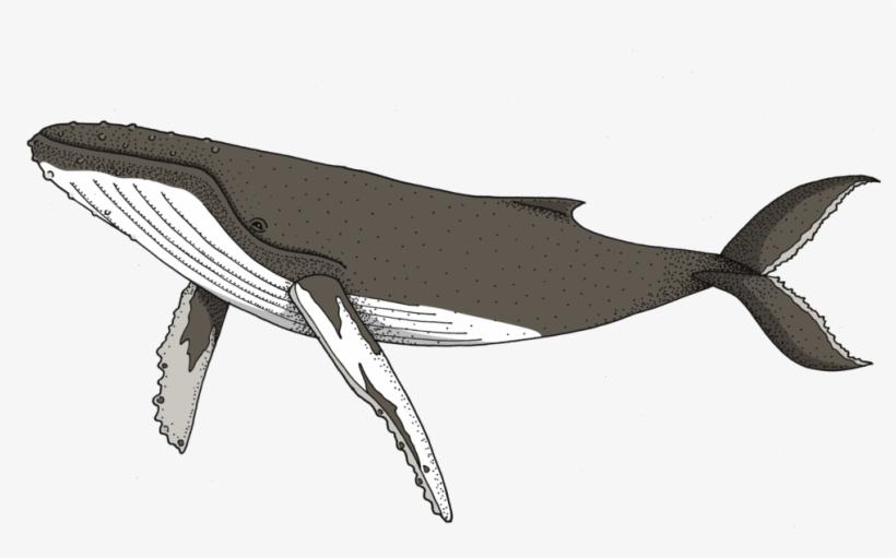 Humpback Whale, transparent png #1860199