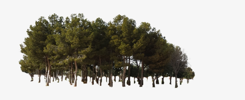 Tree Forest Jungle Woods - Pine Tree Forest Png, transparent png #1860992