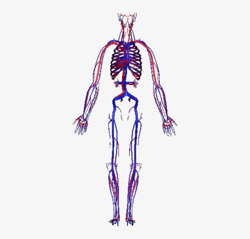 human circulatory system - circulatory system transparent