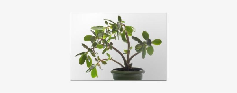 Crassula Plant Isolated On White - Dollar Tree Plant, transparent png #1897161