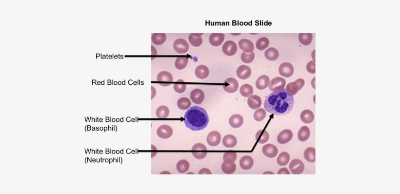 Top Images For Blood Smear Labeled On Picsunday - Human Blood Slide Labeled, transparent png #1928067