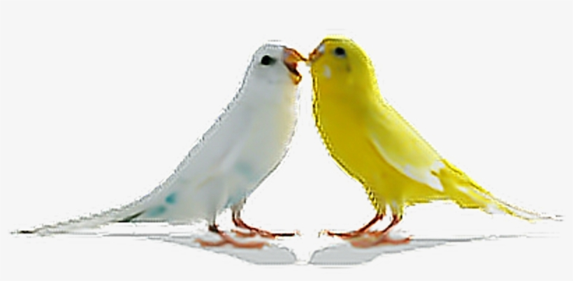 Birds Parrots Bird Tumblr Ftestickers - Love Birds Png, transparent png #1953910