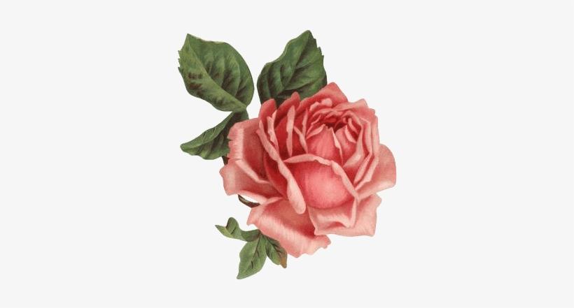 Hoy Completamos Con 30 Rosas Muy Bonitas, También En - Old Rose Informant By Brent C Dickerson, transparent png #1973252