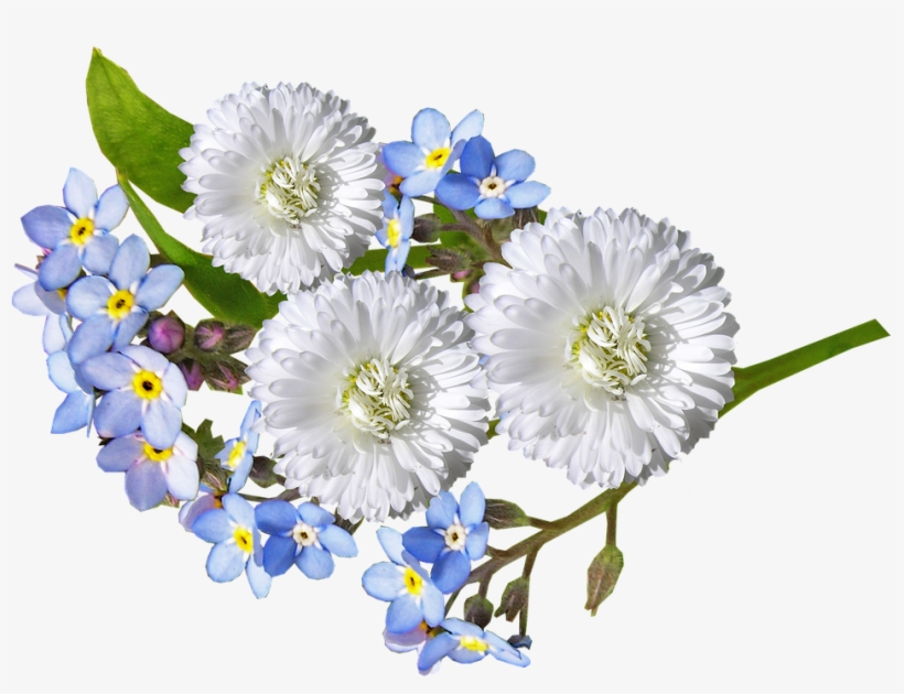 Daisy White Blue Flowers Blue And White Flowers Png Free