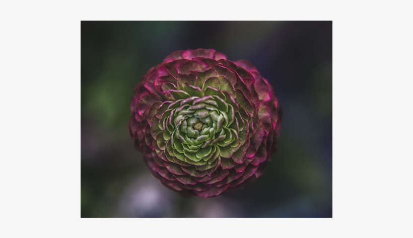 Or You Might Wind Up With Onions Flower Delivery Bloom - Suenos De Color - Rod V - Download, transparent png #2016837