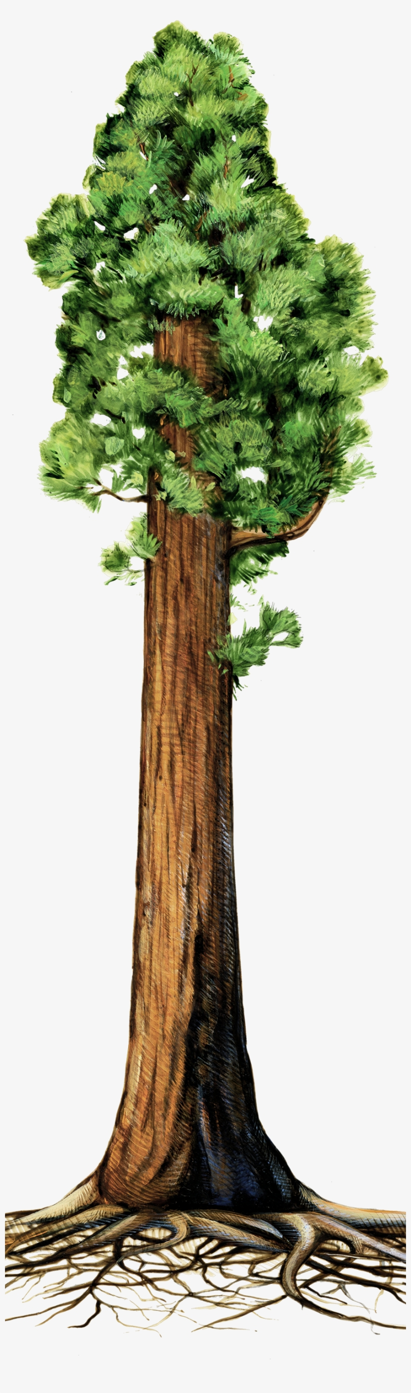 Drawn Roots Sequoia Tree - Giant Redwood Tree Clipart, transparent png #218591