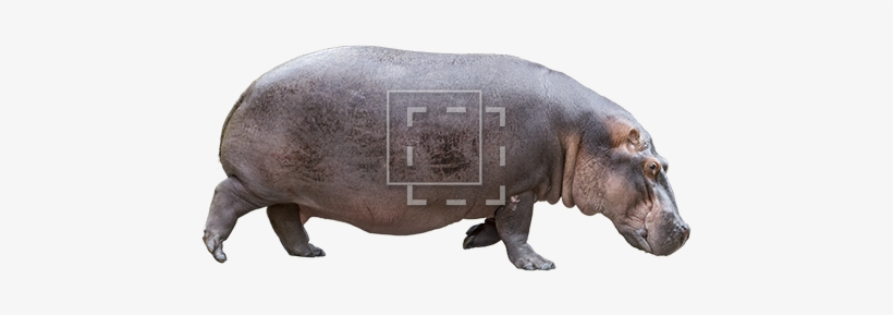 Hippo Side View - Hippo Face Side View, transparent png #2145791