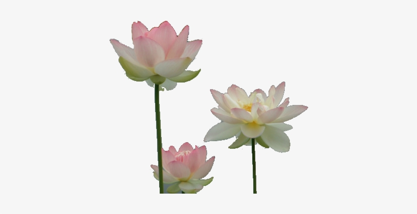 Drawing Chinese Water Lily - Water Lilies Transparent, transparent png #2161365