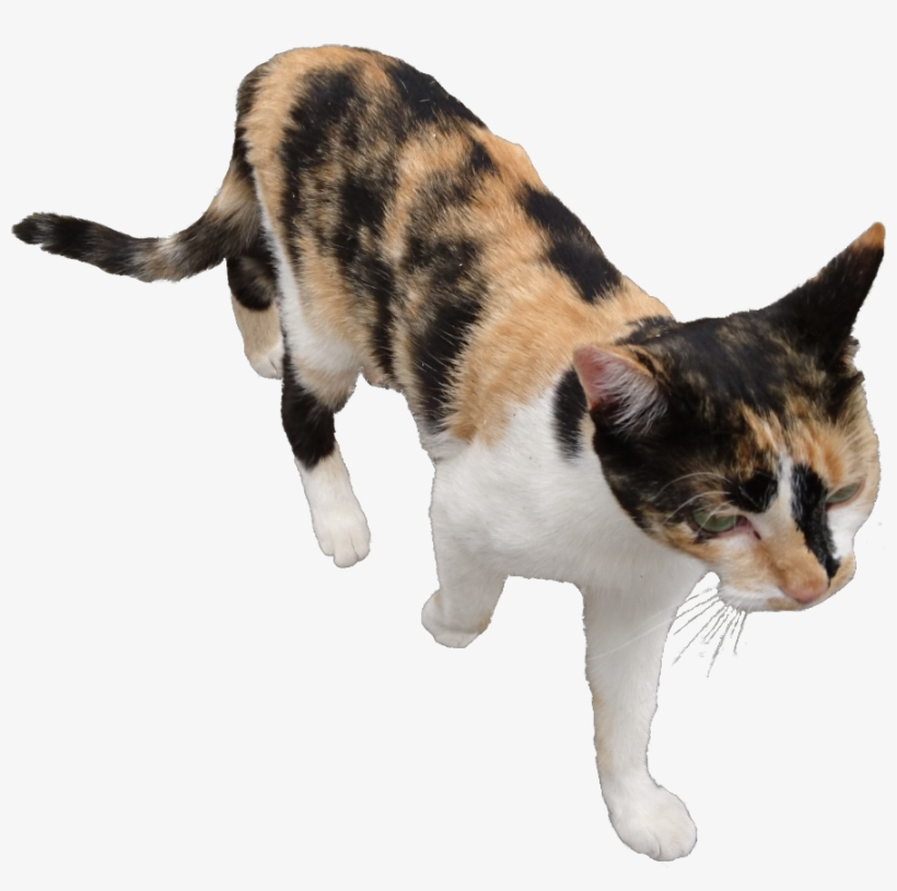 Cat Transparent Pngs ⚡ - Domestic Short-haired Cat, transparent png #2165822
