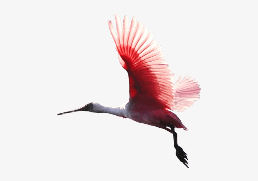 Free Png Birds Png Images Transparent - Red Bird Flying Png - Free