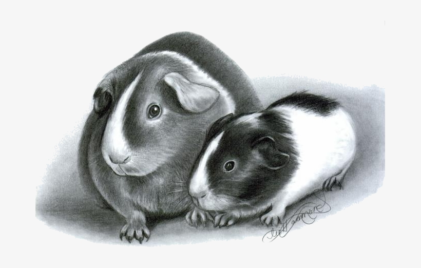 How To Draw Guinea Pigs Drawing Of Guinea Pig Free Transparent Png Download Pngkey