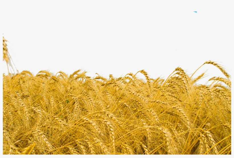 Wheat Field Png - High Resolution Wheat Field, transparent png #2372195