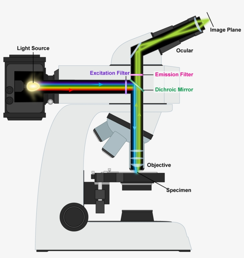 fluorescence microscope mechanism fluorescence microscope cartoon free transparent png download pngkey fluorescence microscope mechanism