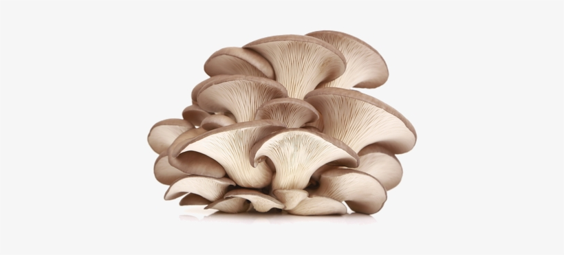 Oysterís Name Refers To The Broad Oyster Shaped Caps - Oyster Mushroom Powder Benefits, transparent png #246110