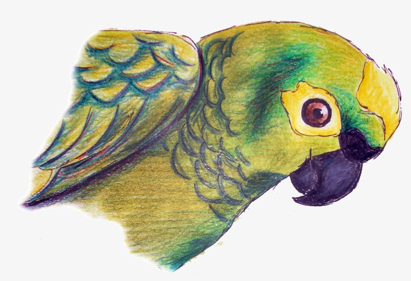 Drawing With Pencil Colours Parrot, transparent png #248660