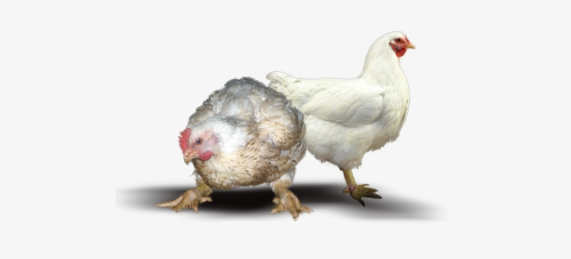 Farm Chicken Png, transparent png #2446050