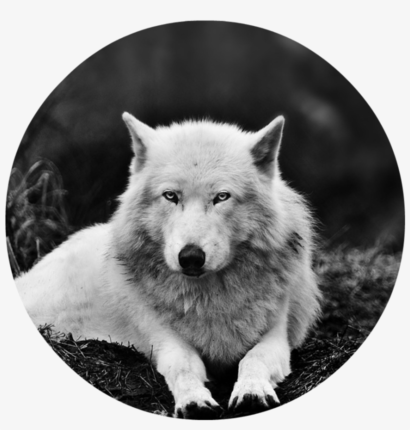 Black And White Wolf 16 Widescreen Wallpaper Animal