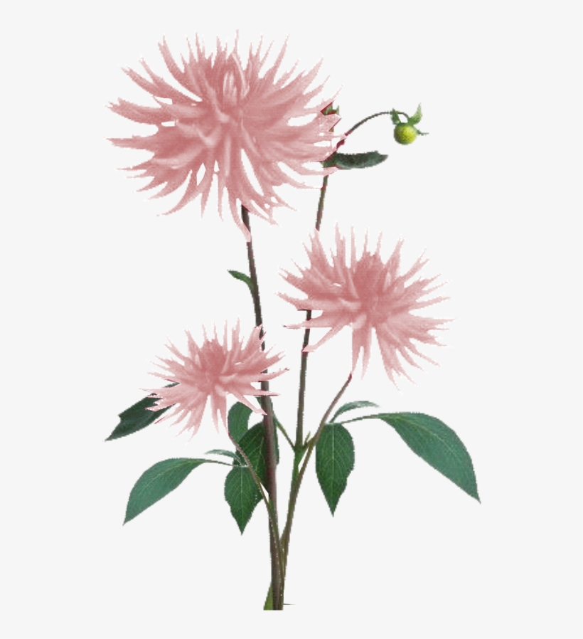 Jacey-light Pink Dahila Plant Texture - White Flowers Plant Png, transparent png #2503839