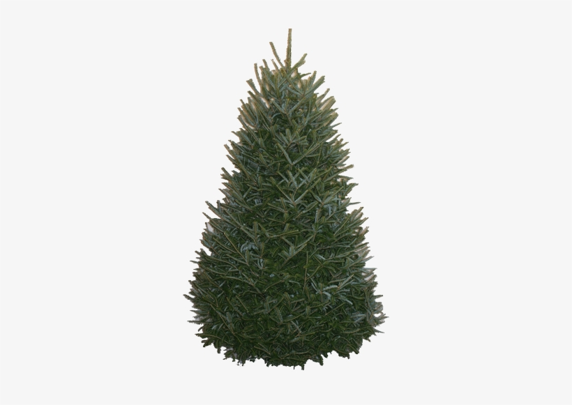 Balsam-fir Original - 12 Foot Fraser Fir Christmas Trees, transparent png #2521347
